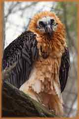 Bearded vulture puzzle
