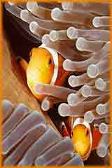Clown Fish peering out jigsaw puzzle