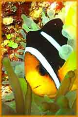 Clown fish sideview puzzle