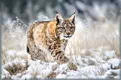 Mobile - PC Eurasian lynx in snow jigsaw puzzle