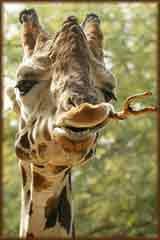 Giraffe Chewing on stick puzzle