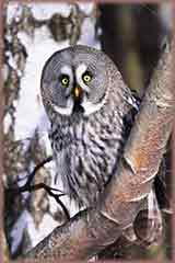 Great Tree Grey Owl puzzle