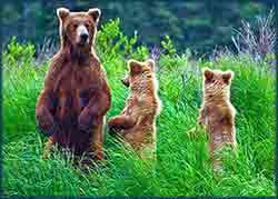Mobile - PC Grizzly_Bears_family_Katmai_Park jigsaw puzzle
