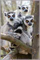 Group of lemurs jigsaw puzzle
