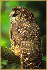 Mexican Spotted Owl jigsaw puzzle