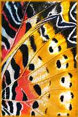Monarch Butterfly Wing puzzle