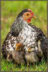 Mother hen jigsaw puzzle