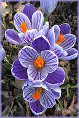 Purple Striped Crocus jigsaw puzzle