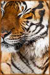 Tiger Close up jigsaw puzzle