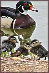 Wood Duck Father jigsaw puzzle