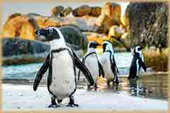 Mobile - PC Group of  african penguins on beach jigsaw puzzle
