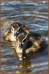baby wood ducks puzzle