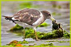 Mobile - PC belcher gull eating crab jigsaw puzzle