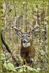 buck in woods jigsaw puzzle