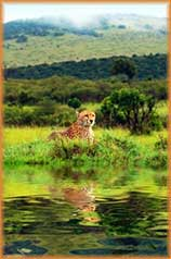 cheetah reflection jigsaw puzzle