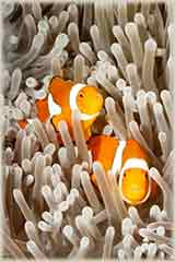 clown anemonefish jigsaw puzzle