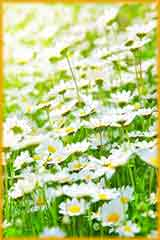 daisy meadow jigsaw puzzle