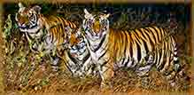 Mobile - PC Group of  early morning bengal tigers jigsaw puzzle