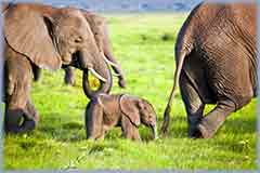 Mobile - PC elephants family kenya africa jigsaw puzzle
