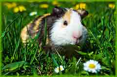 Mobile - PC Group of  guinea pig jigsaw puzzle