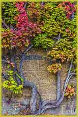 ivy stone wall jigsaw puzzle