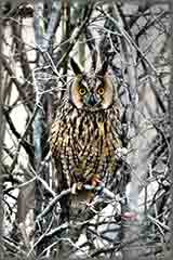 Mobile - PC Group of  long eared owl jigsaw puzzle