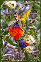 lorikeet eating eucalyptus flowers puzzle