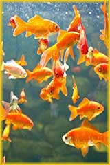 multiple goldfish puzzle