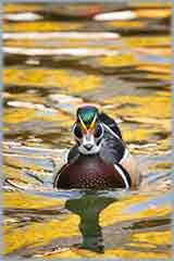 pond wood duck jigsaw puzzle