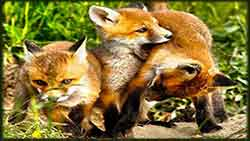 Mobile - PC red_foxes_playing jigsaw puzzle