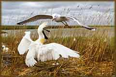Mobile - PC spoonbill and seagull jigsaw puzzle