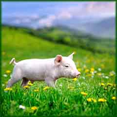 Mobile - PC spring grass pig jigsaw puzzle