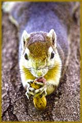 squirrel eating nut jigsaw puzzle