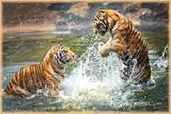 Mobile - PC Group of  tigers water playing jigsaw puzzle