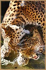 two leopards jigsaw puzzle