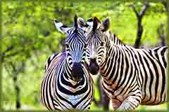 Mobile - PC two male zebra jigsaw puzzle