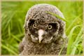 Baby Great Grey Owl