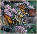 Butterflies on Purple Flower jigaw puzzle