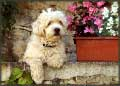 Dog in Provence jigsaw puzzles