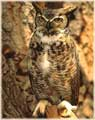 Great Horned Owl jigsaw puzzles