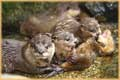 Mother Otter with Young jigsaw puzzles