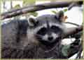 Raccoon in Tree jigaw puzzle