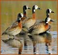 White Faced Ducks jigsaw puzzles