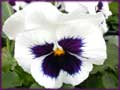 White Pansy jigsaw puzzle