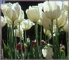 White Tulips jigaw puzzle