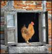 Window Rooster jigsaw puzzles