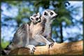 baby and mom lemur