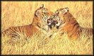Bengal Tigers   jigsaw puzzle