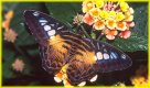 Butterfly in Flower  jigsaw puzzle