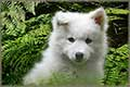 free jigsaw puzzles of samoyed dog puppy